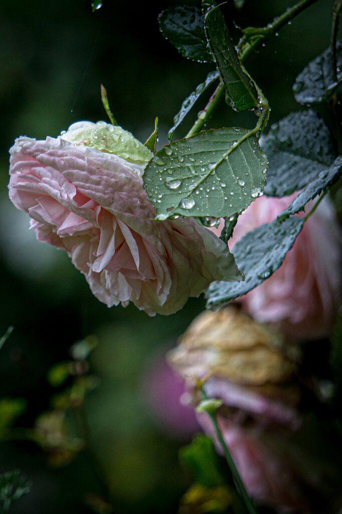 pink, roses, rain